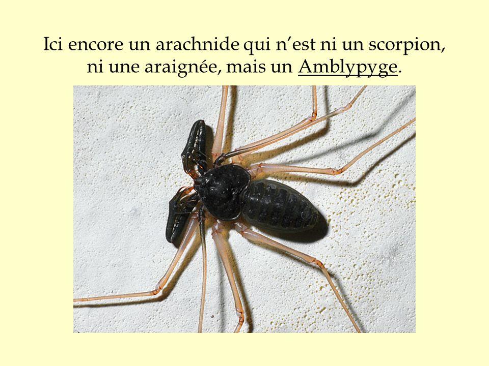 Ici encore un arachnide qui n'est ni un scorpion, ni une araignée, mais un Amblypyge.