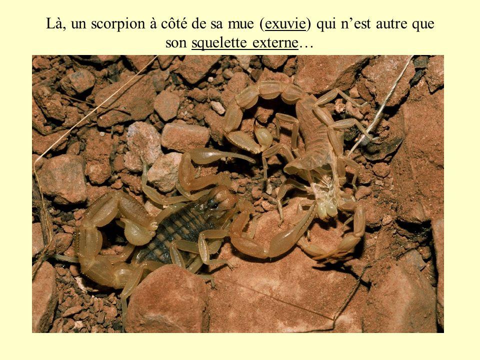 Là, un scorpion à côté de sa mue (exuvie) qui n'est autre que son squelette externe…