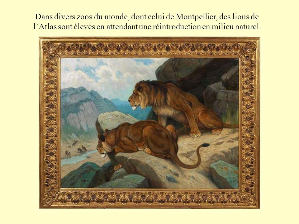 Dans divers zoos du monde, dont celui de Montpellier, des lions de l'Atlas sont élevés en attendant une réintroduction en milieu naturel.