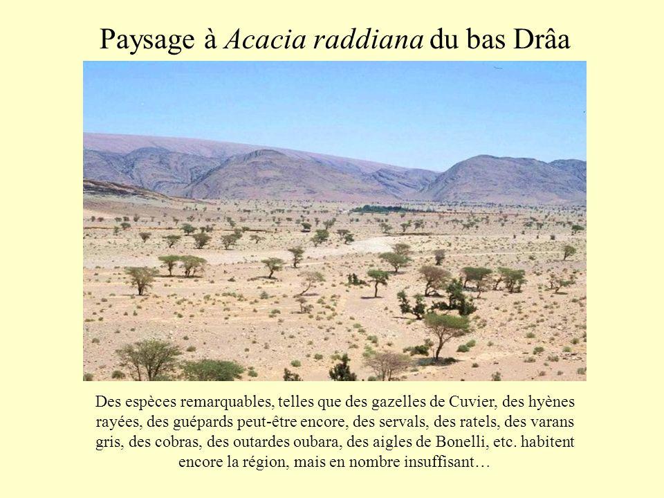 Paysage à Acacia raddiana du bas Drâa