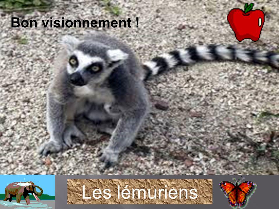 Bon visionnement ! Les lémuriens