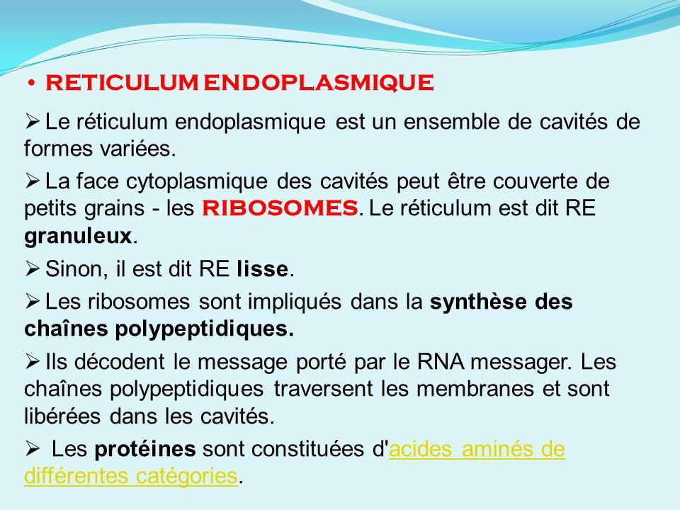 RETICULUM ENDOPLASMIQUE