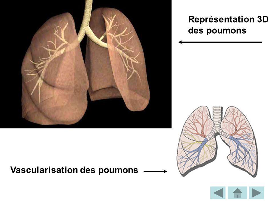 Représentation 3D des poumons Vascularisation des poumons