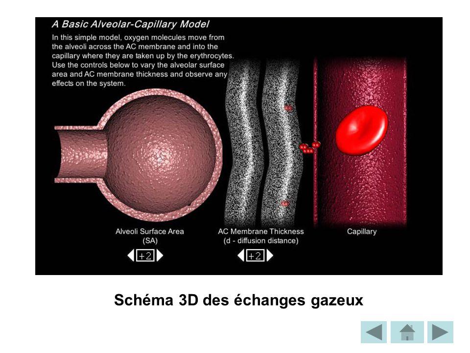 Schéma 3D des échanges gazeux