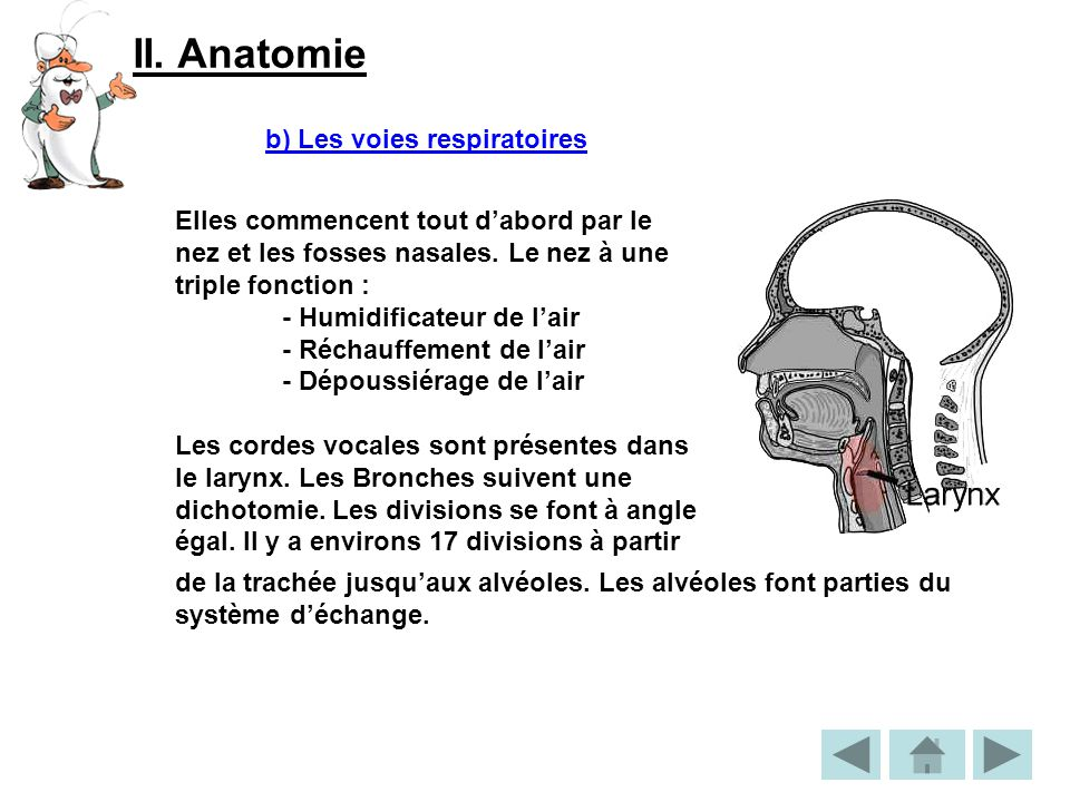 II. Anatomie b) Les voies respiratoires