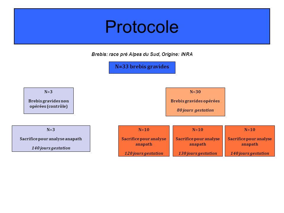 Protocole N=33 brebis gravides