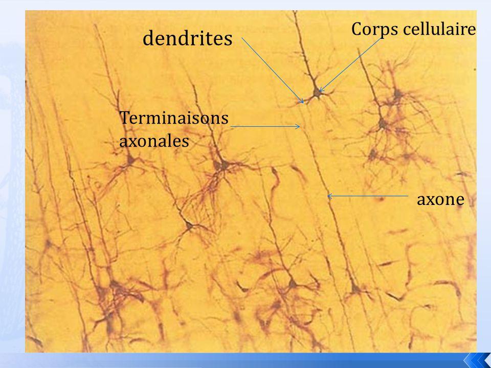 Corps cellulaire dendrites Terminaisons axonales axone