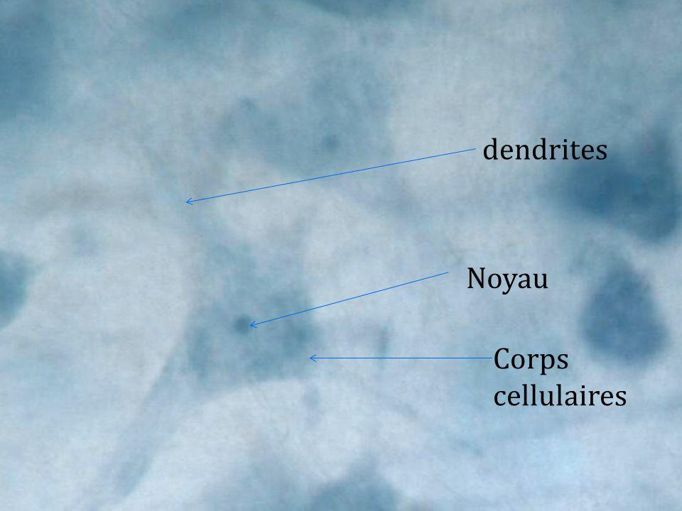 dendrites Noyau Corps cellulaires