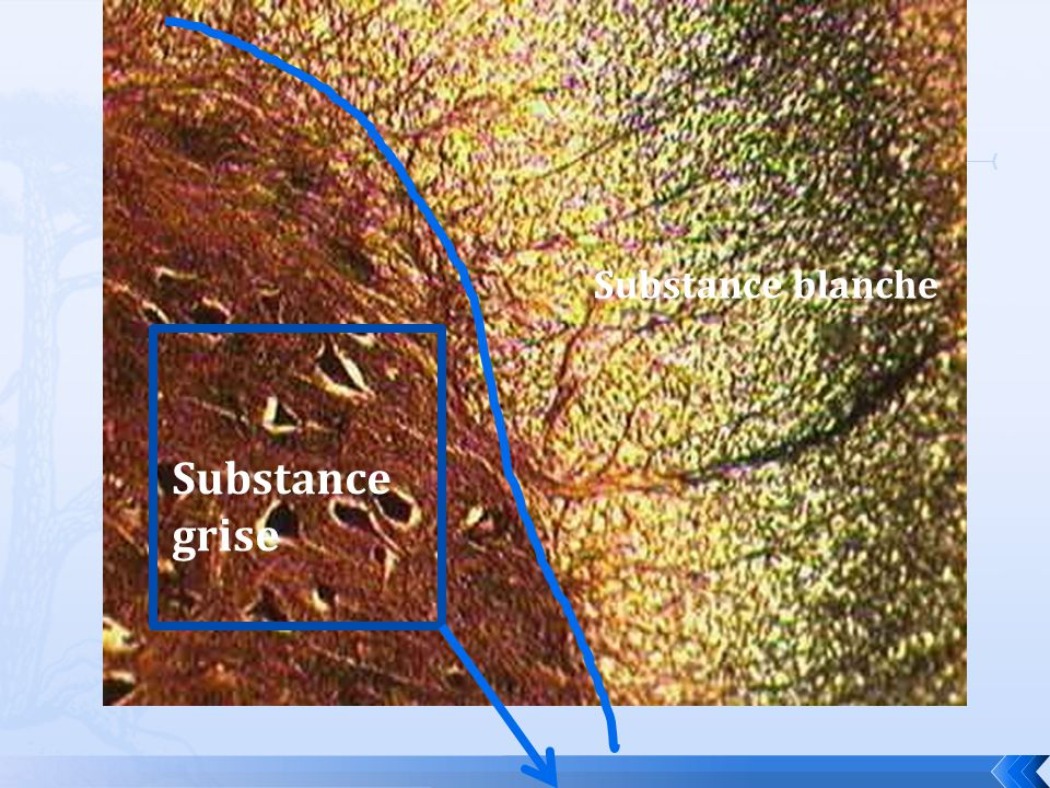 Substance blanche Substance grise