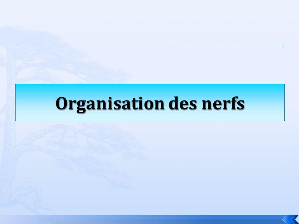 Organisation des nerfs