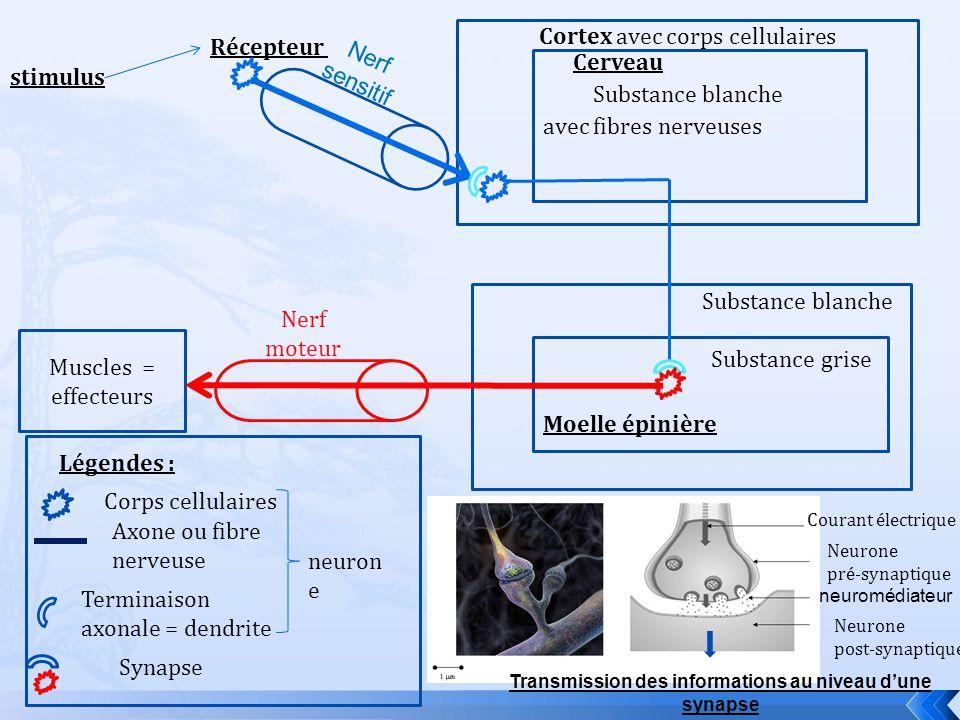 Transmission des informations au niveau d'une synapse
