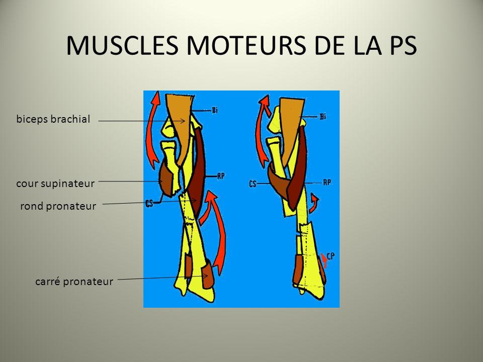 MUSCLES MOTEURS DE LA PS