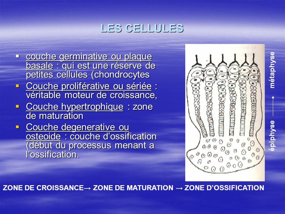 LES CELLULES couche germinative ou plaque basale : qui est une réserve de petites cellules (chondrocytes.
