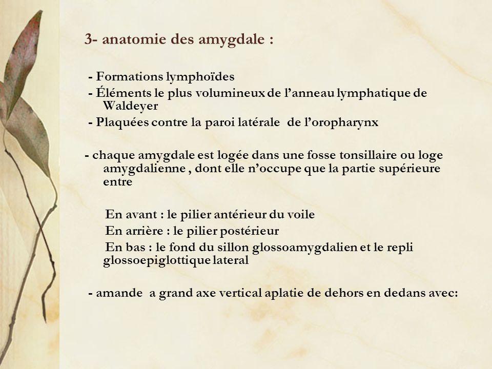 3- anatomie des amygdale :