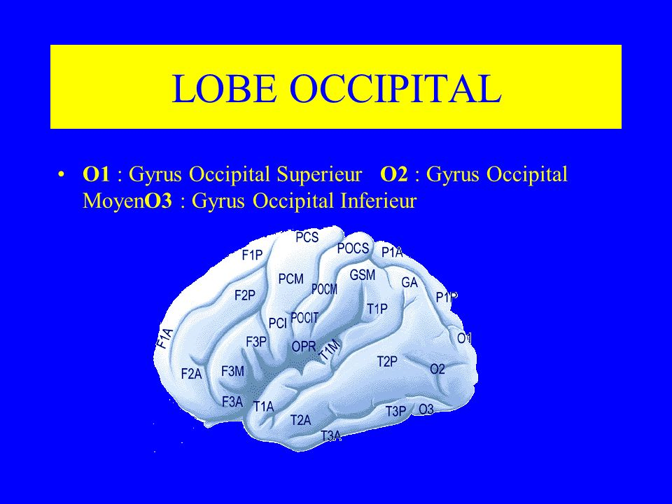 LOBE OCCIPITAL O1 : Gyrus Occipital Superieur O2 : Gyrus Occipital MoyenO3 : Gyrus Occipital Inferieur.