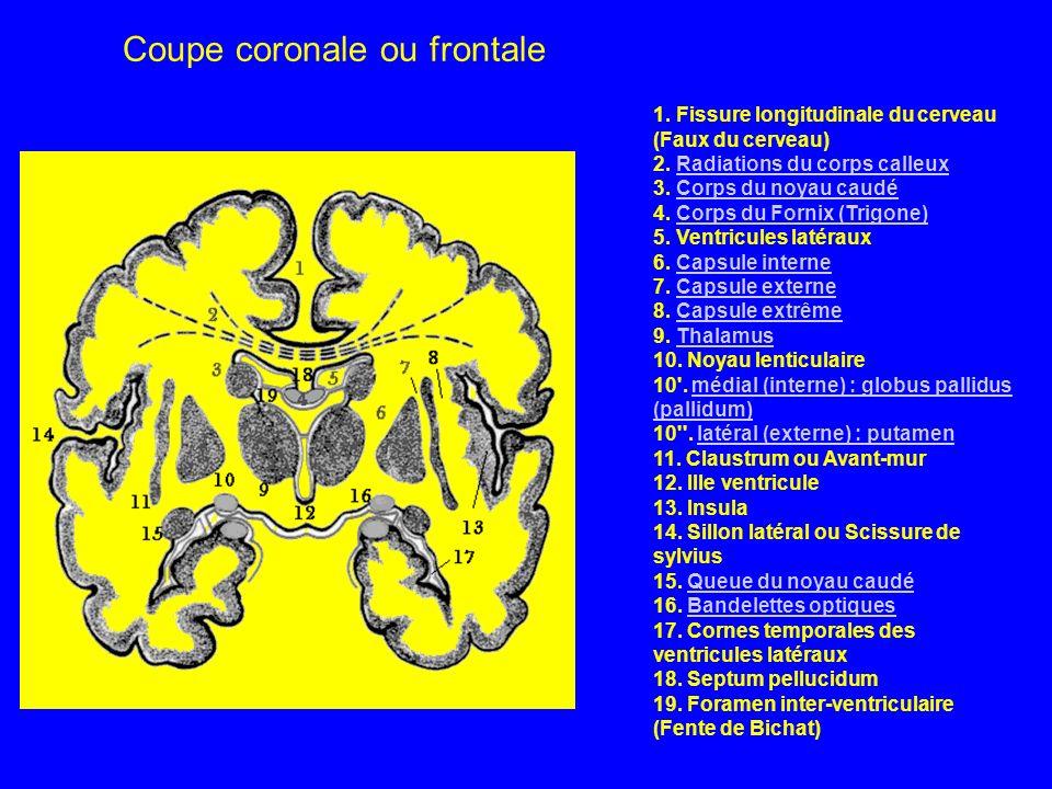 Coupe coronale ou frontale