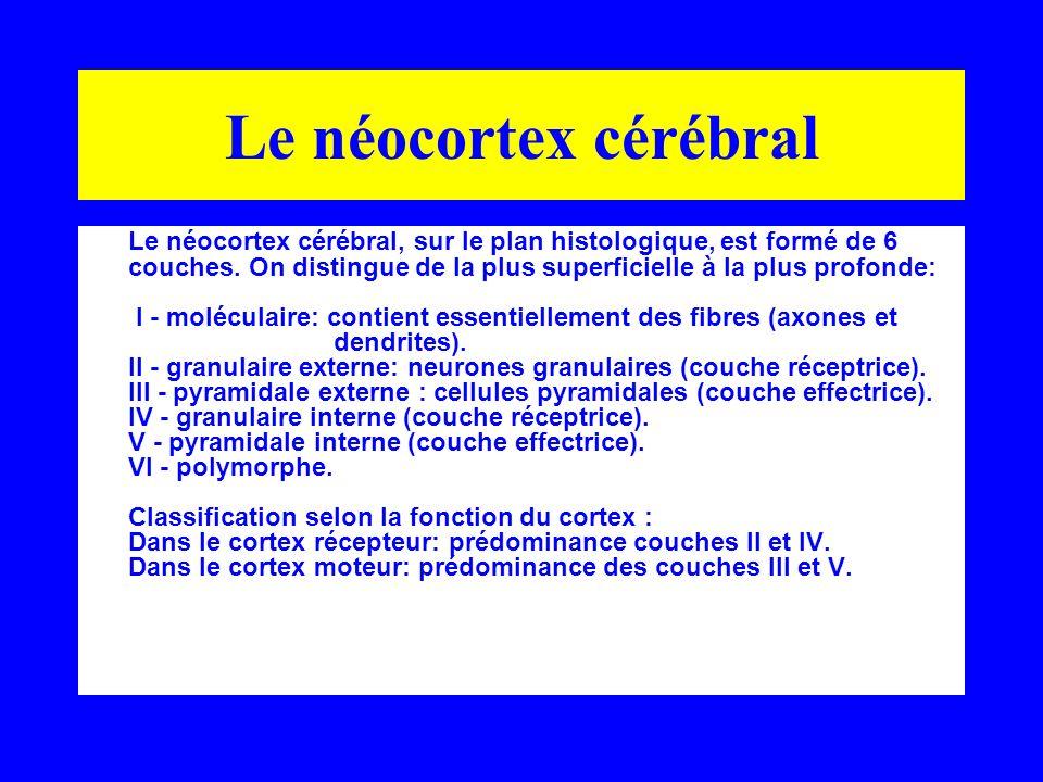 Le néocortex cérébral