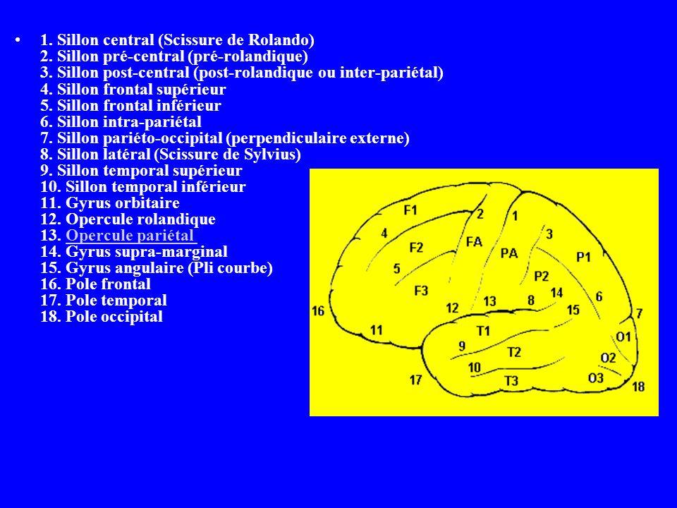 1. Sillon central (Scissure de Rolando) 2