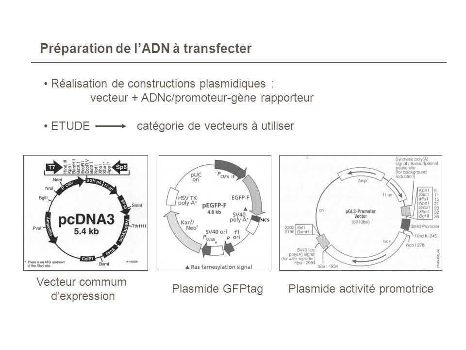 Préparation de l'ADN à transfecter