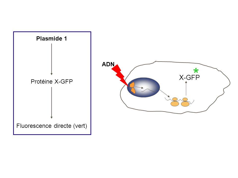 Plasmide 1 Protéine X-GFP Fluorescence directe (vert) ADN * X-GFP