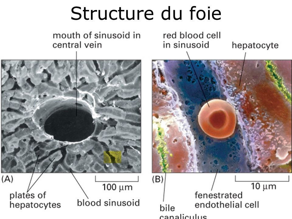 Structure du foie #5p1277