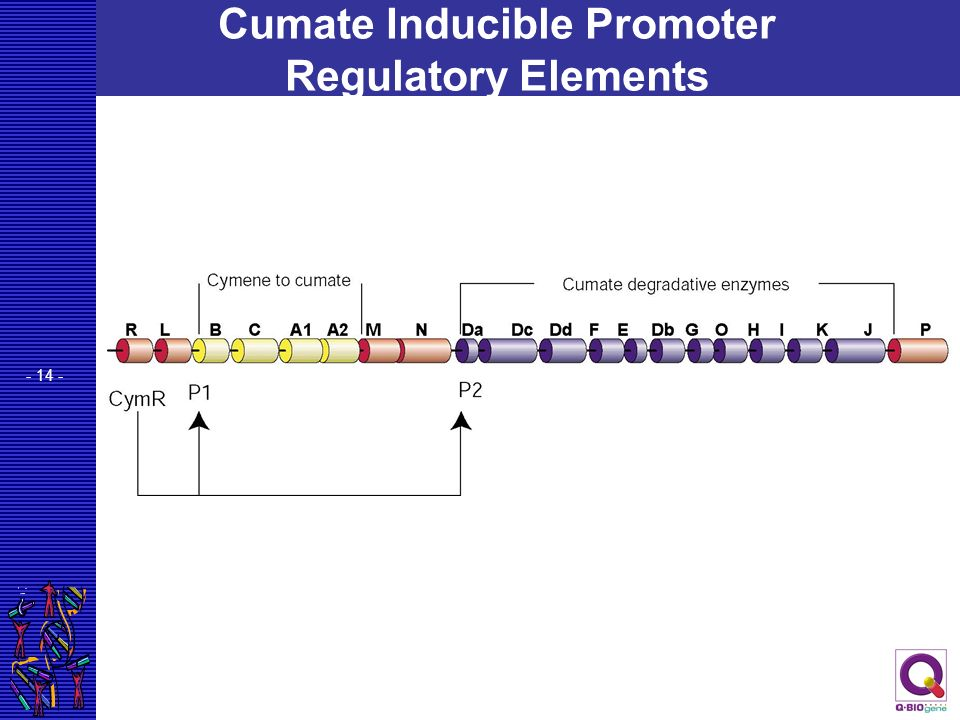 Cumate Inducible Promoter Regulatory Elements