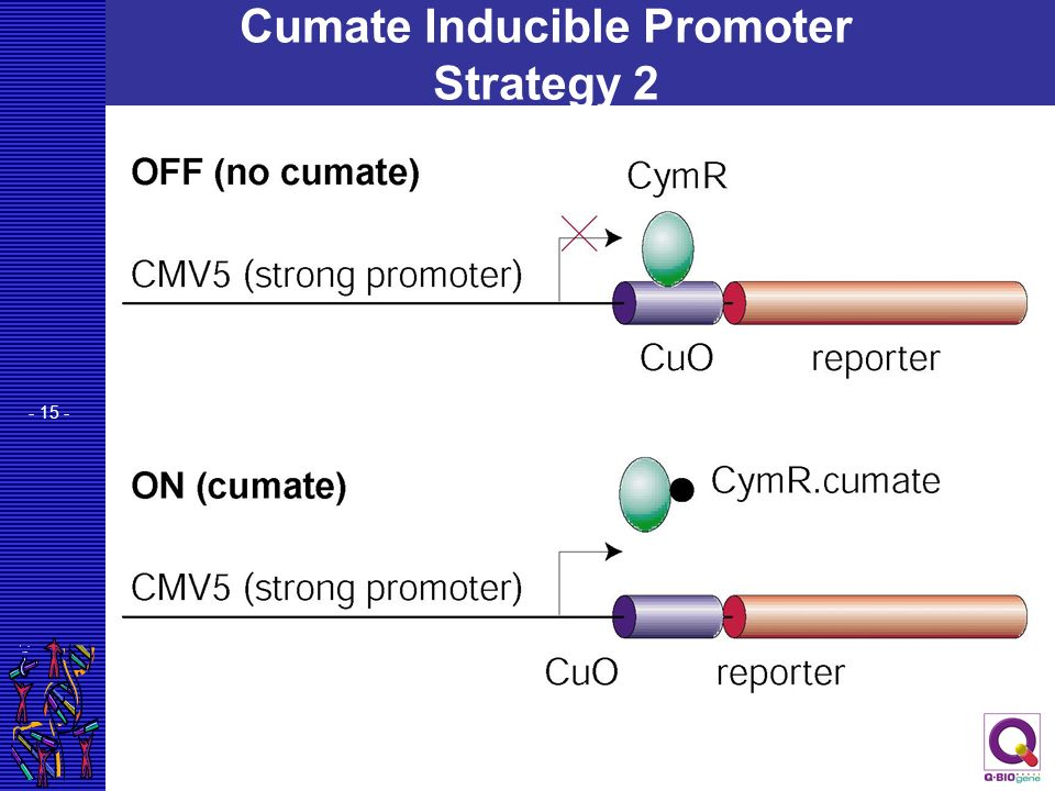 Cumate Inducible Promoter Strategy 2