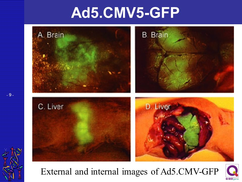 Ad5.CMV5-GFP External and internal images of Ad5.CMV-GFP