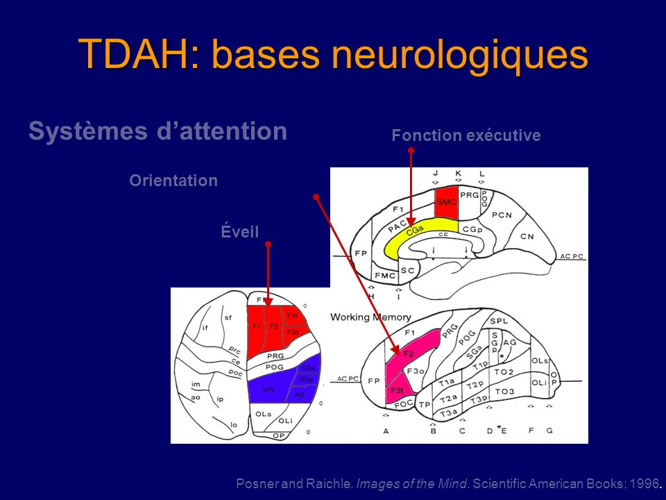 TDAH: bases neurologiques
