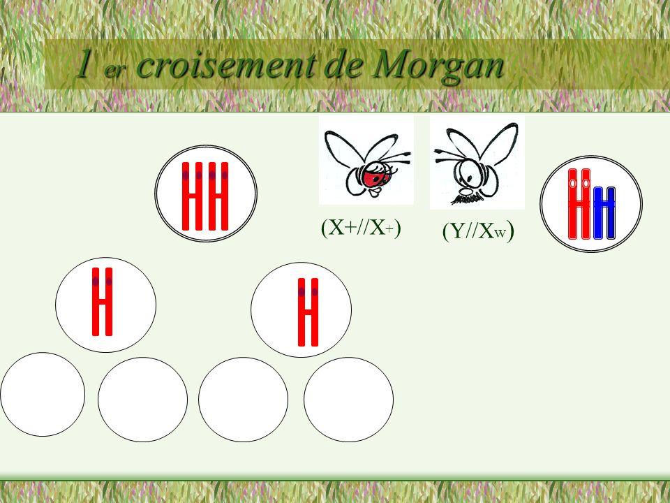 1 er croisement de Morgan