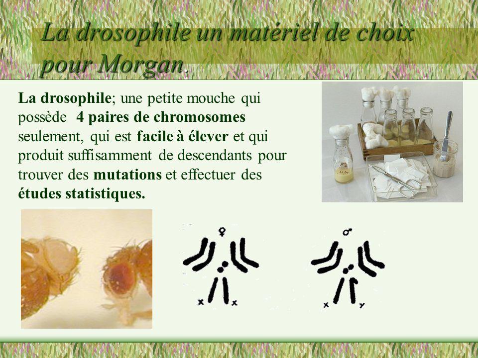 La drosophile un matériel de choix pour Morgan.