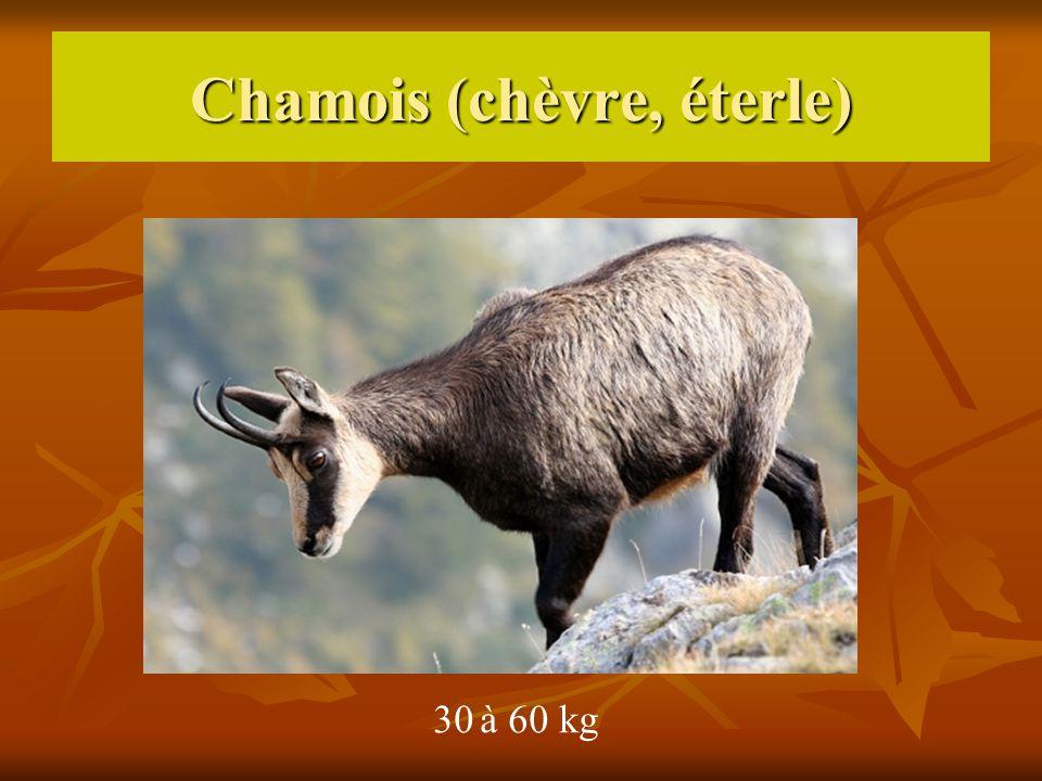 Chamois (chèvre, éterle)