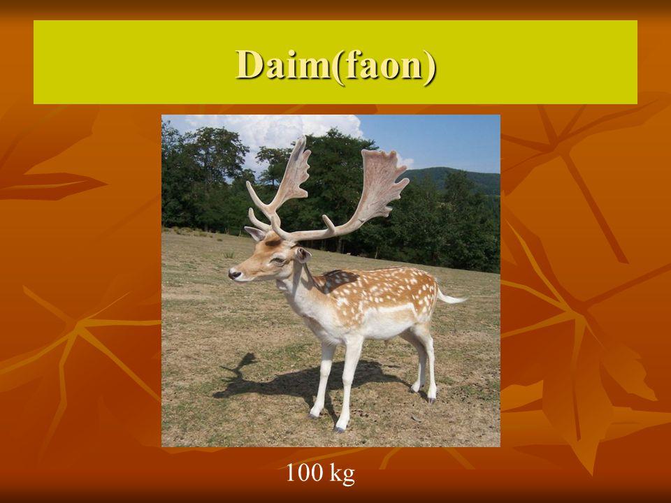 Daim(faon) 100 kg