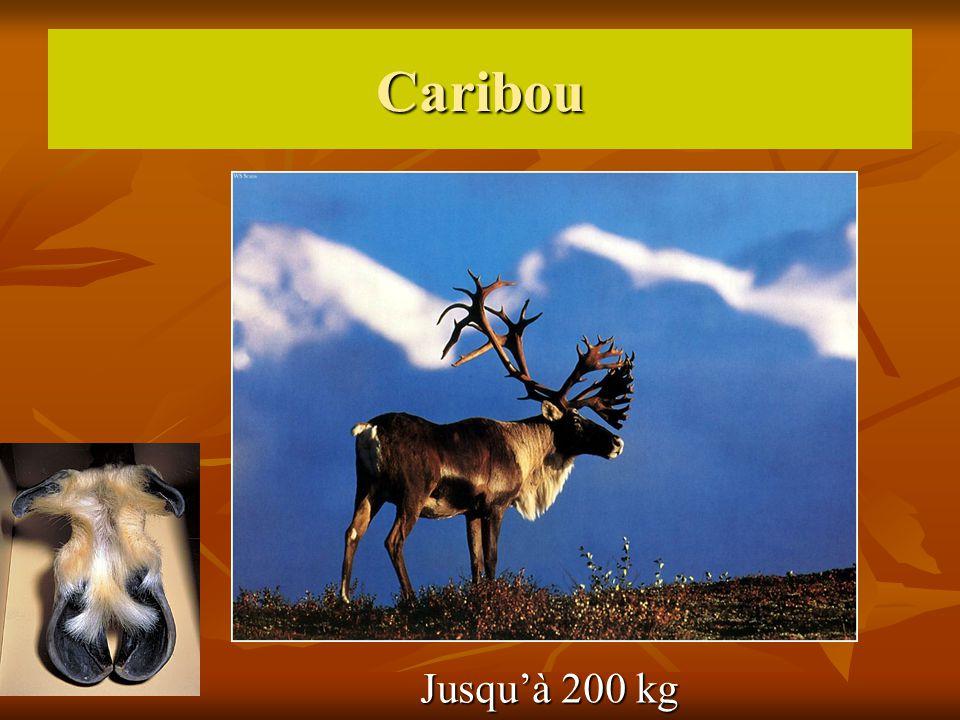 Caribou Jusqu'à 200 kg