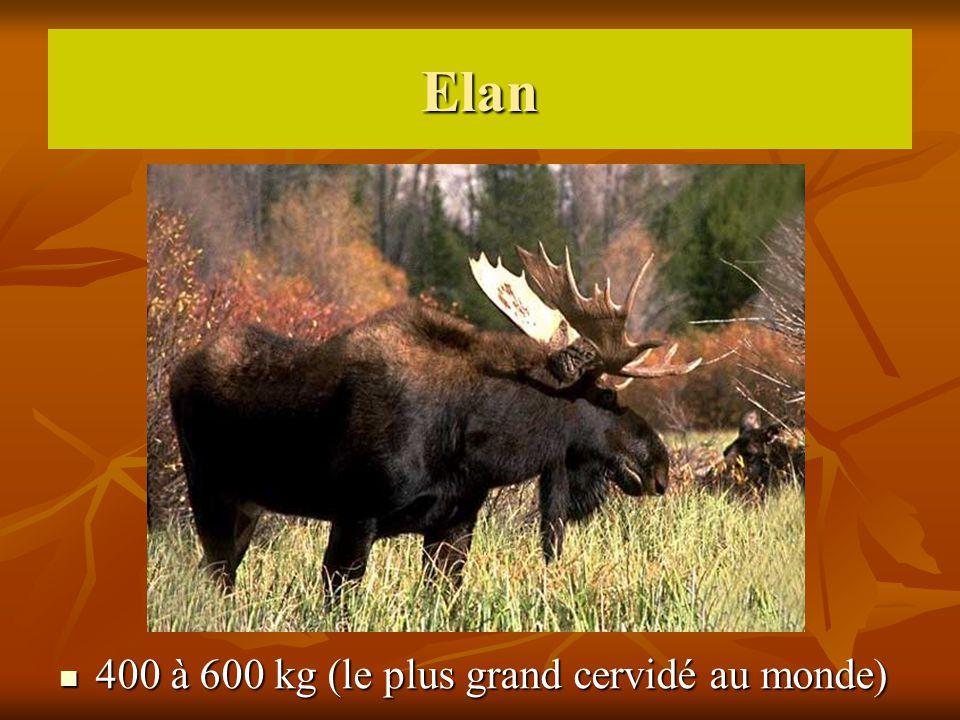 400 à 600 kg (le plus grand cervidé au monde)