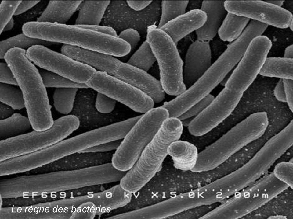 Le règne des bactéries