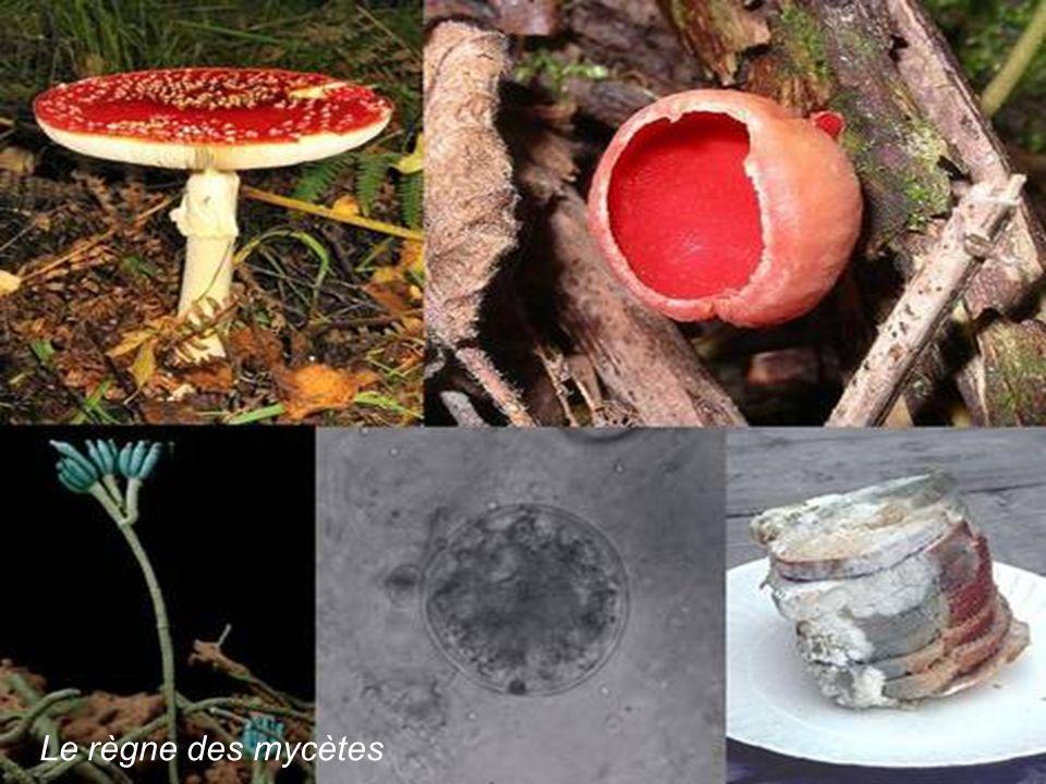 Le règne des mycètes