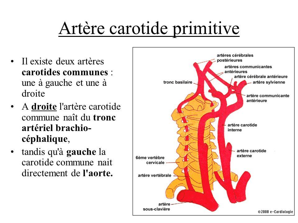 Artère carotide primitive