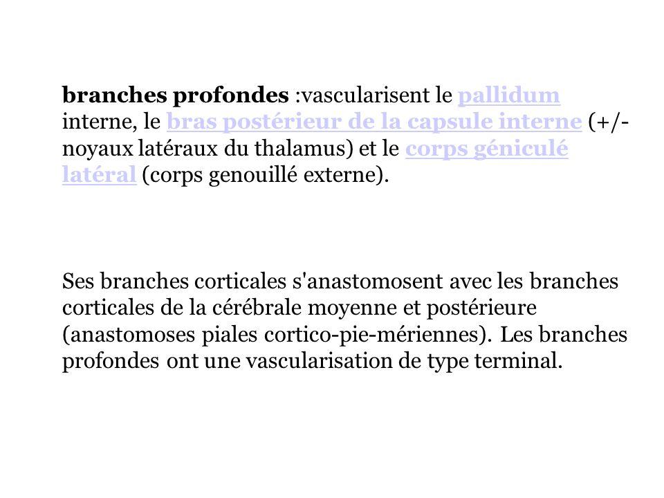 branches profondes :vascularisent le pallidum interne, le bras postérieur de la capsule interne (+/- noyaux latéraux du thalamus) et le corps géniculé latéral (corps genouillé externe).
