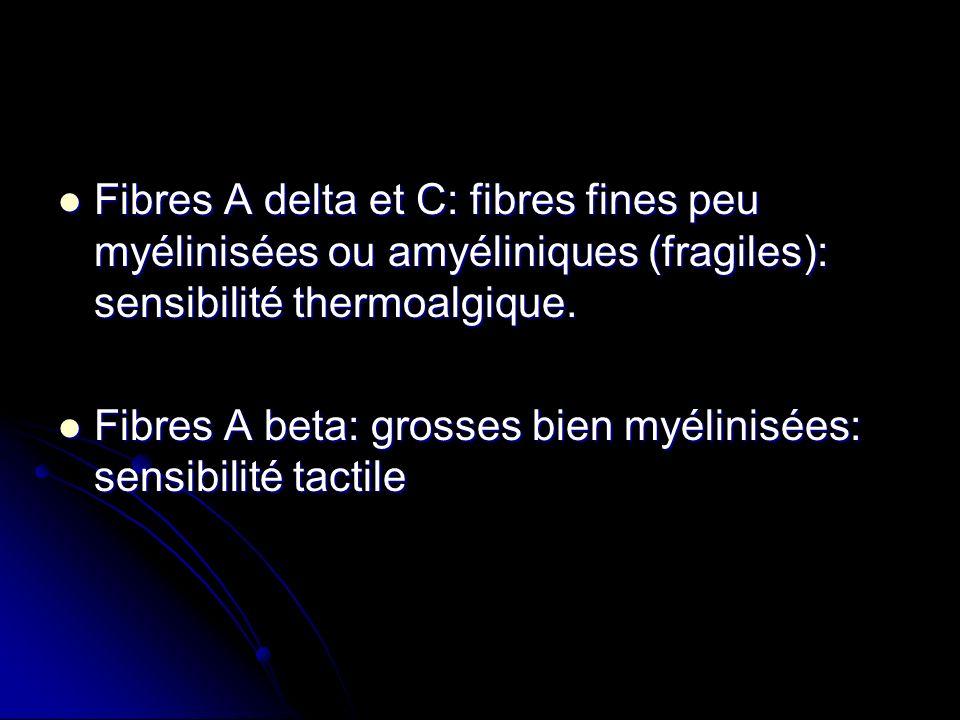 Fibres A delta et C: fibres fines peu myélinisées ou amyéliniques (fragiles): sensibilité thermoalgique.