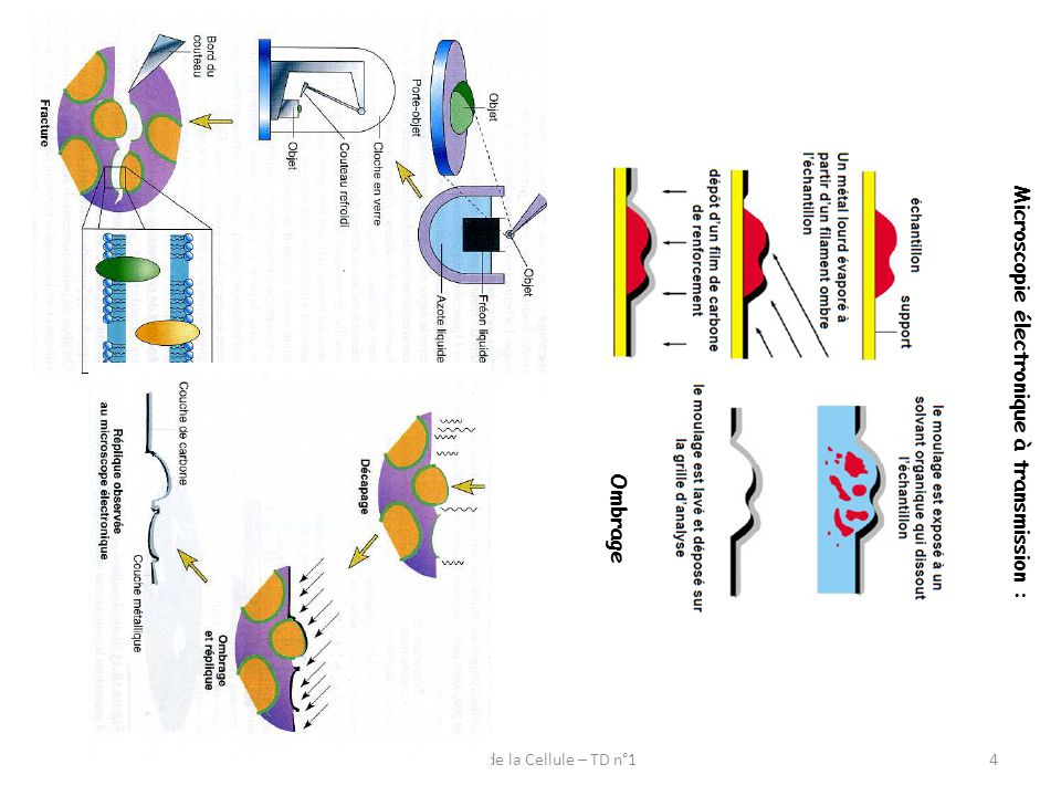 Biologie de la Cellule – TD n°1