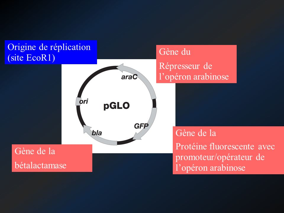 Origine de réplication (site EcoR1)