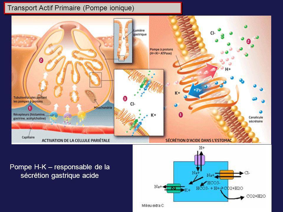 Pompe H-K – responsable de la sécrétion gastrique acide