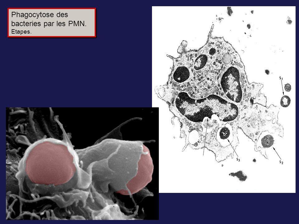 Phagocytose des bacteries par les PMN.