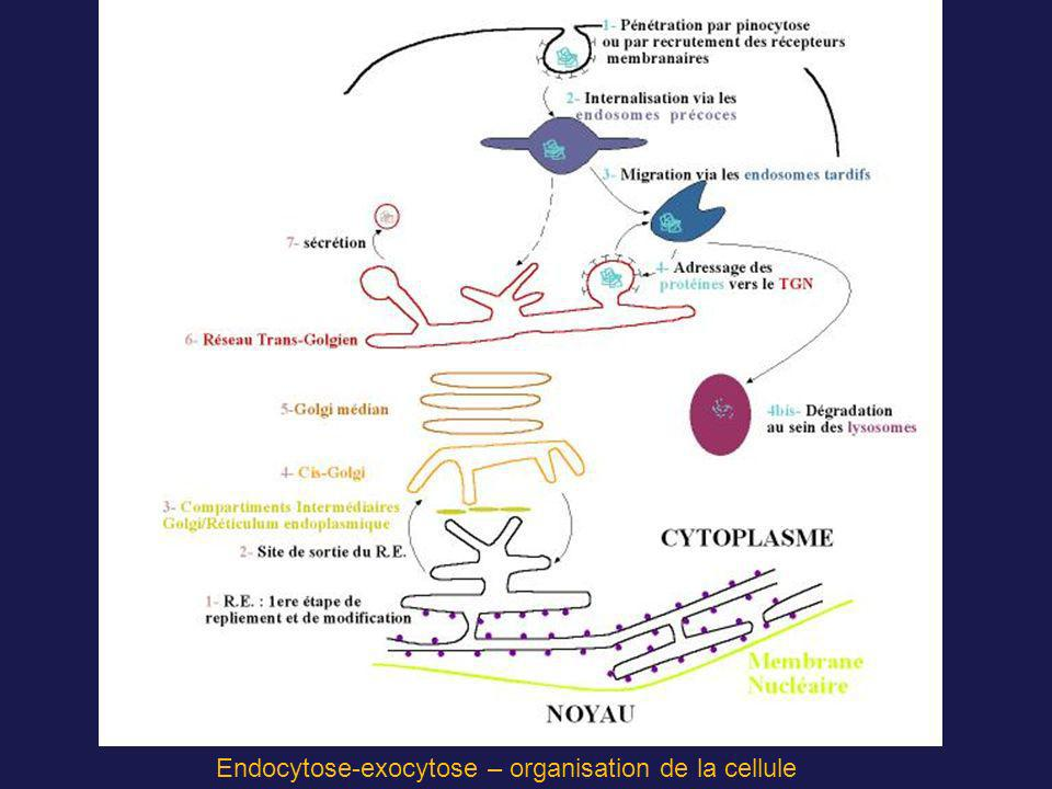 Endocytose-exocytose – organisation de la cellule