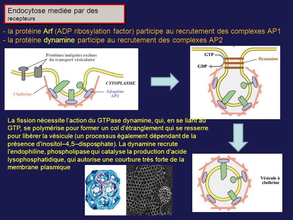 Endocytose mediée par des