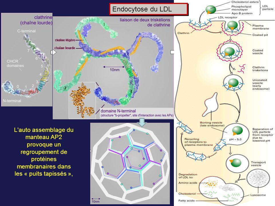 Endocytose du LDL L auto assemblage du manteau AP2 provoque un regroupement de protéines membranaires dans les « puits tapissés »,
