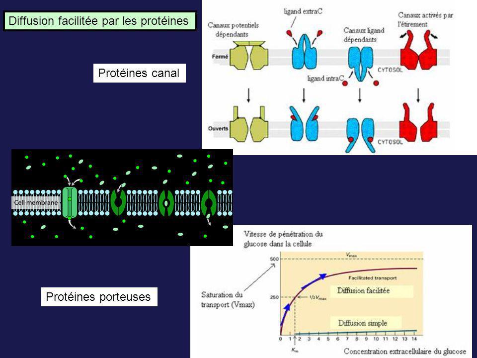 Diffusion facilitée par les protéines