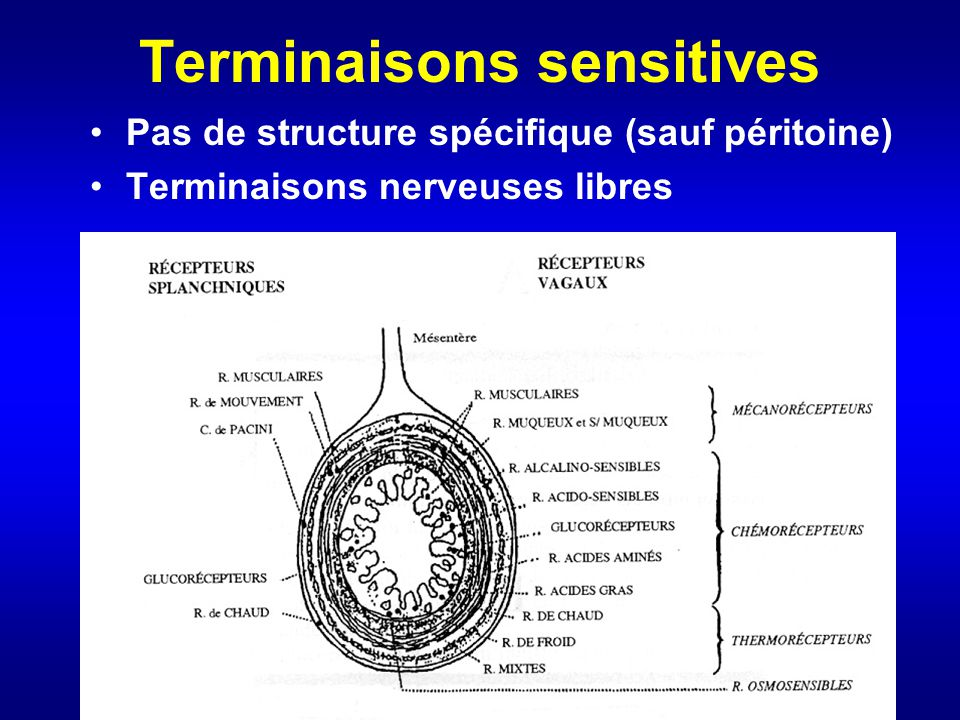 Terminaisons sensitives