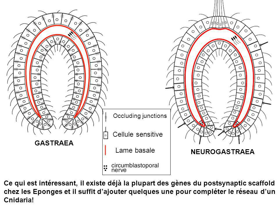 Cellule sensitive GASTRAEA Lame basale NEUROGASTRAEA